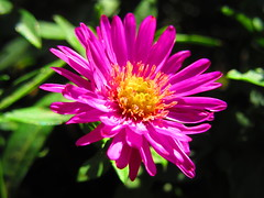 IMG_0112 9-13-2018 (PGK88) Tags: flower aster plant garden bloom blossom blooming nature sunlight sunlit petals beautiful macro closeup 2018 365 pgk88