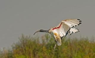 Sacred Ibis: Threskiornis aethiopicus