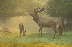 6:30 a.m. (hardy-gjK) Tags: wildlife deer nature germany freie wildbahn morning early früh tagesbeginn hardy nikon d500
