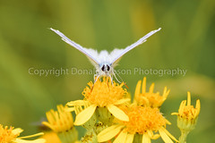 Gailes Marsh b (Donjovi2012) Tags: 2018 ayrshire commonbluebutterfly flowers gailesmarsh irvine macro nature scotland shallowdof softfocus