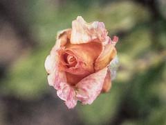 Una rosa siempre es una rosa... (Cande G. de la Paz) Tags: rosa flor rose jardín