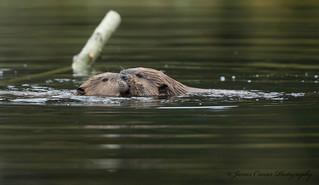 Beavers ... Explore 17-9-18 #56