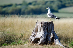 Waiting (Steve and his really incredible camera) Tags: bird countryside outdoors grass tree stump sitting waiting fields seagul seagull gull