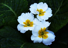 DSC_1662 Primrose (PeaTJay) Tags: nikond750 sigma reading lowerearley berkshire macro micro closeups gardens outdoors nature flora fauna plants flowers primrose primroses