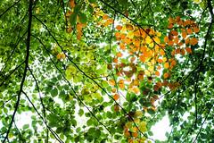 Autumn Glow (tyrellblack87) Tags: trees tree leaves light sunshine colour contrast vibrant nature beauty fujifilm fuji fujix100t adventure explore