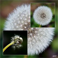 pustemakrosausfreierhand (peterphot) Tags: makros pusteblume herbst sony tamron60