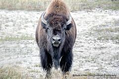 First Snow (Gary Grossman) Tags: bison buffalo head portrait yellowstone park wild widlife snow autumn fall garygrossmanphotography wyoming wildlifephotography naturephotography nationalpark yellowstonenationalpark headshot