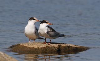 Common Tern / Sterne Pierregarin (  juvénile )