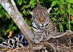 Jaguar (Panthera Onca) (Susan Roehl) Tags: braziltrip2016 thepantanal cuiabariver brazil southamerica jaguar mammal animal carnivore predator pantheraonca thirdbiggestcat takenfromboat 125to200pounds canbe6feetlong 2to212feetatshoulder crushorsuffocatevictim stalking ambush pouncesfromblindspot secludedplacetoeat sueroehl photographictours naturalexposures panasonic lumixdmcgh4 100400mmlens handheld croppedimage grass forest roots byriver onshore ngc