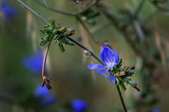 Fiori_061 (salvatore ajello) Tags: fiori fiore blu insetto ragno macro natura nature colori giardino pianta canon