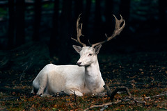 elegant and majestic - elegant und majestetisch (ralfkai41) Tags: woodland animalpark deer nature tier woods tierpark forest hirsch zoo sababurg wald natur animal