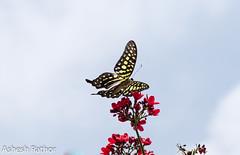 Tailed Jay (asheshr) Tags: graphiumagamemnon beautifulbutterfly beautifulmacro butterfliesofindia butterfliesofodisha butterfliesoforissa d7200 depthoffield dof macro macrophotography nikon nikond7200 swallowtail swallowtailbutterfly tailedjay