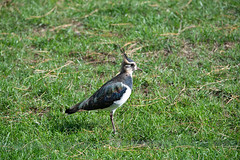 610_4129 (1KGBird) Tags: lapwing nikond610 sigma150600mmf563sdgoshsm whipsnade
