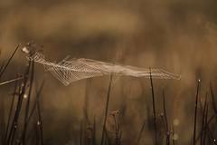 Art of nature (Xtraphoto) Tags: morgentau tau tautropfen morninglight morgenlicht light nature natur spiderweb spinnennetz netz net web cobweb