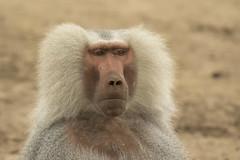 Mantelbaviaan - Safaripark Beekse Bergen - Hilvarenbeek (Jan de Neijs Photography) Tags: dierentuin zoo tamron tamron150600 150600 dierenpark nl holland thenetherlands dieniederlande diergaarde g2 animal dier beeksebergen safaripark safariparkbeeksebergen hilvarenbeek aap ape noordbrabant sbb mantelbaviaan baviaan baboon papiohamadryas tamron150600g2