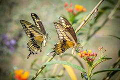 140A0196 (Ricky Floyd) Tags: butterfly canon