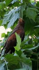 Poiana (Er_ninja) Tags: poiana falco uccelli