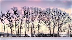 Sunset with mistletoes (Eva Haertel) Tags: eva haertel canon5dmarkiii forest trees sky sunset field snow landschaft landscape mistletoes misteln silhouette travel reisen tschechischerepublik czechrepublic winter frost