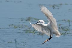 Little Egret June 2018 (jgsnow) Tags: purple bird egret littleegret flight landing