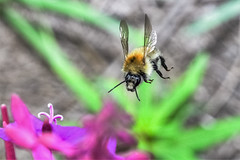 incoming (Paul Wrights Reserved) Tags: bee bees beeinflight insect inflight insects insectinflight wings flying focus fly flight flyinginsect flapping flower flowers bokeh nature naturephotography wildlife wildlifephotography