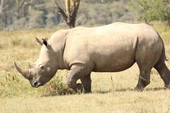 A shy, retiring beast (Nagarjun) Tags: lakenakurunationalpark kenya eastafrica wildlife bigfive whiterhino whiterhinoceros southernwhiterhinoceros ceratotheriumsimumsimum safari gamedrive herbivore biggame