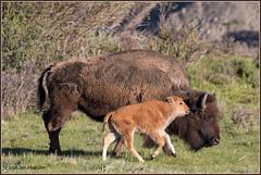 Yellowstone Bison 3541 (maguire33@verizon.net) Tags: bison yellowstone yellowstonenationalpark calf mother motherhood reddog springtime wildlife wyoming unitedstates us