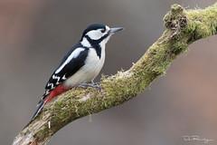 Great Spotted Woodpecker (f.) (DanRansley) Tags: britain danransleyphotography danransleynet dendrocoposmajor england gsw greatbritain rspb uk animal bird birding conservation feathers greatspottedwoodpecker nature ornithology rural wildlife woodland