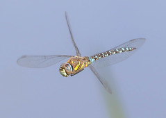 Migrant hawker (badger2028) Tags: migrant hawker flight flying macro dragonfly