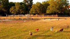 DSCN4978 basse-cour 11 (poule coq prairie) Génicourt (jeanchristophelenglet) Tags: génicourtfrance poule chicken galinha coq rooster galo