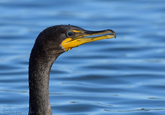 Double-crested Cormorant. (Estrada77) Tags: doublecrestedcormorant cormorant ducks divingducks birds birding foxriver wildlife kanecounty nikon nikond500200500mm sep2018 summer2018 nature water