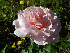 Sa majesté... la rose !   -   His majesty ... the rose! (josianelavielle) Tags: fleurs rose nature verdure petitefleursjaunes