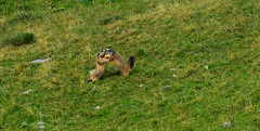 Fighting marmots (luca2142) Tags: marmotta marmot fight animals alps alpi italia valgerola alpiorobie pescegallo