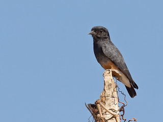 Swallow-winged Puffbird (Chelidoptera tenebrosa)