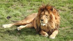 The KIng - 5871 (ΨᗩSᗰIᘉᗴ HᗴᘉS +23 000 000 thx) Tags: lion king roi roidelajungle nature pairidaiza coolpixp1000 nikon nikonp1000 zoom natuur hensyasmine namur belgium europa aaa namuroise look photo friends be wow yasminehens interest intersting eu fr greatphotographers lanamuroise