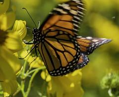 MonarchButterfly_SAF6476 (sara97) Tags: danausplexippus butterfly copyright©2018saraannefinke endangered insect missouri monarch monarchbutterfly nature photobysaraannefinke pollinator saintlouis towergrovepark