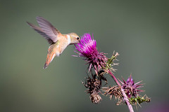 Thistle Juice (gseloff) Tags: rufoushummingbird bird flight bif feeding flower thistle nature wildlife animal weed bluffsprings sunspot newmexico gseloff running image nice work gary