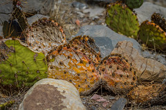 prickly decay (jimmy_racoon) Tags: canon 5d mk270200 f4l is 7d red rock canyon national conservation area lasvegas nevada beauty cactus decay desert landscape canon5dmk2 70200f4lis canon7d redrockcanyonnationalconservationarea