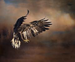 Into the Light2 (jontuelawrel (Bernadette Marie)) Tags: eagle juvieagle juvenileeagle baldeagle wild sky red