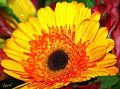 Gerbera in Bouquet (Lynn English) Tags: gerbera yellow droplets bouquet daisey