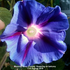 Morning Glory (Purple)  flowering on balcony 17th August 2018 (D@viD_2.011) Tags: morning glory flowering balcony august 2018