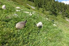 Sheep @ Hike to Le Brévent, Lac du Brévent & Aiguillette des Houches (*_*) Tags: chamonix hautesavoie france 74 europe savoie july 2018 summer été sunny hike hiking randonnée marche mountain montagne afternoon hiketolebréventlacdubréventaiguillettedeshouches aiguillesrouges alps alpes sheep mouton