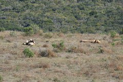 Sudafrica - Addo Elephant National Park - Lions (PierBia) Tags: sudafrica addo elephant national park lions nikon d810