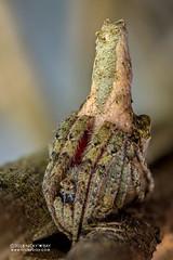 Tree stump orb weaver (Poltys sp.) - DSC_8949b (nickybay) Tags: africa madagascar andasibe macro araneidae poltys treestump orb weaver spider