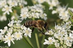 Passage between the Flowers (Luca Bobbiesi) Tags: macro insect bug bee ape nature flowers fiori natura trentinoaltoadige trentino canoneos5dmarkiv canonef100mmf28usm