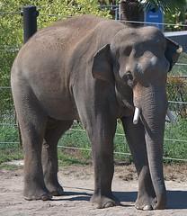 Elephant (Scott 97006) Tags: elephant pachyderm animal zoo