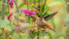 Allen's/Rufous Hummingbird (Bob Gunderson) Tags: allenshummingbird birds botanicalgardens california goldengatepark hummingbirds northerncalifornia sanfrancisco selasphorussasin
