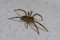 AA-20180901-2135 (andreas.abzieher) Tags: fujifilm fujixt2 canon canonfd200mmf4macro spider makro dossenheim badenwürttemberg deutschland de