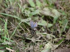 P1200178  EASTERN TAILED BLUE (birder2015 Toronto, Canada) Tags: eastern tailed blue butterfly easterntailedblue