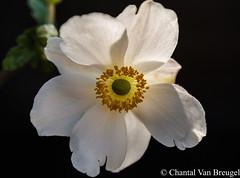 Japanse Anemoon (Chantal van Breugel) Tags: bloemen macro japanseanemoon herfstanemoon eigentuin espel flevoland noordoostpolder september 2018 canon5dmark111 canon100mm