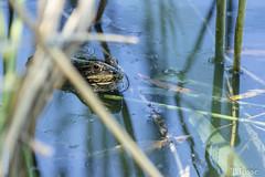20180508_creteil_grenouille (thadeus72) Tags: grenouille
